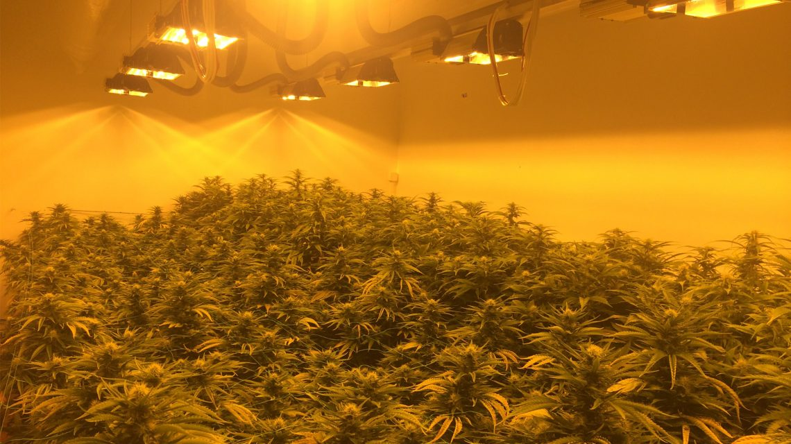 CBD Marijuana Hanfblüten Indoor